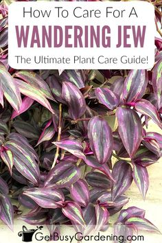 There are lots of different types of wandering jew plants, and they're all easy care plants. Learn everything you need to know about how to care for wandering jews indoors or out including watering, lighting, flowers, fertilizing, propagation, and much more in this ultimate guide to wandering jew plant care!