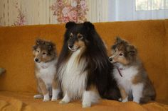 Tri Sheltie with her 2 pups