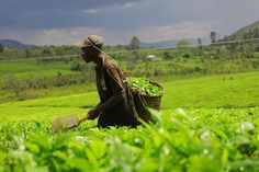 A man cuts tea leaves on a plantation in Bushenyi. Uganda pearl of Africa... #nature_enhancing_health_and_beauty
