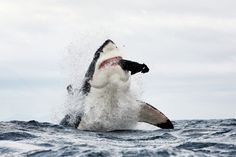 Incredible images of the 'jumping' great white sharks of False Bay, South Africa