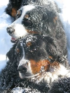 Rescue Club for Bernese Mt. Dogs