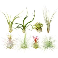 Assorted Collection of Live Air Plants Randomly Picked Types Of Air Plants, Air Plants Care, Plant Care, Succulents Online, Rare Succulents, Succulents Garden, Indoor Bonsai, Bonsai Plants, Air Plant Display