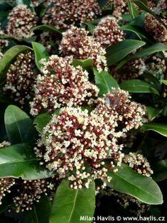 Skimmia japonica 'RUBELLA' - Havlis.cz Plants, Gardens, Outdoor Gardens, Plant, Garden, House Gardens, Planets