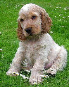 English Cocker Spaniel photos and wallpapers. The beautiful English Cocker Spaniel pictures Orange Roan Cocker Spaniel, Perro Cocker Spaniel, English Cocker Spaniel Puppies, Spaniel Puppies For Sale, American Cocker Spaniel, Cute Puppies, Cute Dogs, Dogs And Puppies, Cockerspaniel