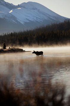 Moose drinking at Maligne Lake, Jasper Park, Alberta, Canada