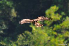 Falco Pecchiaiolo by Alessandro Venturino on 500px