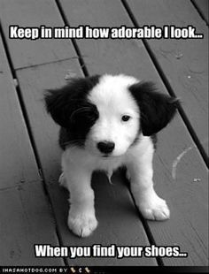 Border Collie- the story of all puppies! Animals And Pets, Baby Animals, Funny Animals, Cute Animals, I Love Dogs, Puppy Love, Cute Puppies, Cute Dogs, Puppies Puppies
