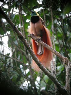 paradijsvogel paradiesvogel birds of paradise markaharper1 Raggiana Bird of Paradise wild 5 580x773 Paradijsvogels