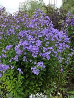 """Campanula lactiflora """"Milky Bellflower"""", zones full sun to part shade, tall x wide spread, good bloomer (idea for West side of Orchard Garden patio) Lavender Flowers, Wild Flowers, Cut Flowers, Shade Garden, Garden Plants, Horticulture, Endless Summer Hydrangea, Tall Plants, Annual Plants"""