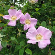 Nootka rosa in bloom: Deciduous Shrub  Height: 10 ft. Availability: Medium Growing ease: High Moisture req.: moist - wet Exposure req.: sun - part shade  Plant description:  Attractive pink blooms, and large red fruit (hips) that persist in the winter. Covered with prickles, aggressive spreader.