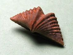 Mucrospirifer mucronatus Brachiopod - Well preserved fossil. This species has a fascinating shape