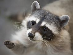 The 100 Most Priceless Raccoon Photos of All Time Animals And Pets, Baby Animals, Funny Animals, Cute Animals, Pet Raccoon, Photo Animaliere, Gif Animé, Fauna, Spirit Animal
