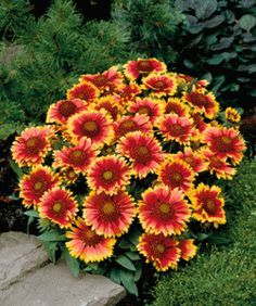 Gaillardia is a drought-tolerant perennial. Grows 11/2 - 2ft tall, full sun in any garden soil type.