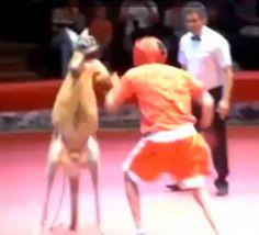 Inaamfirst: kangro Vs human Boxing