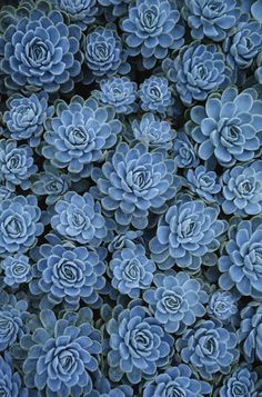 Blue sedum. I love this color for an accent or I think that this as a canvas print would look amazing in a room of light grey