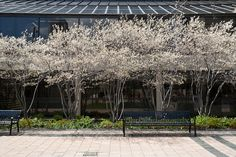 amelanchier Adds interest for every season, canopy could be kept high to allow for movement of cars while still softening the building. Would be good if canopy was at height to reflect slightly in the windows and soften the roof?