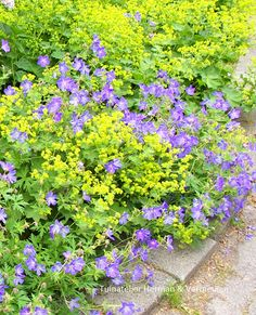 Geranium Rozanne and Alchemilla growing together. Plant Pictures, Garden Pictures, Garden Photos, Alchemilla Mollis, Temple Gardens, Shade Garden Plants, Border Plants, Purple Garden, Gardens