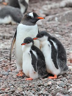African penguin - with baby's also known as the jackass penguin or black footed penguin