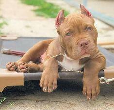 Killer #pitbull
