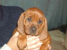 66 Best Redbone Coonhound Images Redbone Coonhound Plott Hound