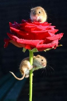Les gusta la rosa