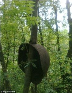 A Red Army helmet with a tree growing through it. Nature's triumph: These trees were skinny saplings when the helmets landed on them, possibly in the heat of a firefight