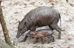Das Hirscheberferkel Cahaya mit seiner Mutter auf Nahrungssuche im Außengehege der Wilhelma.  Foto: Wilhelma
