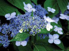 Summertime Blues | July 2014 Virgina Gardener eNewsletter www.vagardener.com