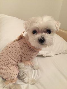Isotta pigiamosa