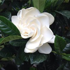 We wish Instagram had a scratch and sniff feature! The wonderful scent of a Gardenia is intoxicating! Our Fort Wayne Garden Center is full of these beautiful tropicals! #ftwayne #fortwayne #visitftwayne #greenhouse #garden #gardenia #tropical #openhouse