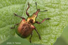 Papua Insects Foundation (Coleoptera/Belidae)