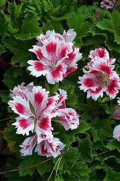 Fringed Aztec Pelargonium by brcotte2007