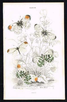 1855 старинный отпечаток с оранжевым наконечником и белый деревянный бабочки ручной цветные гравюры | eBay