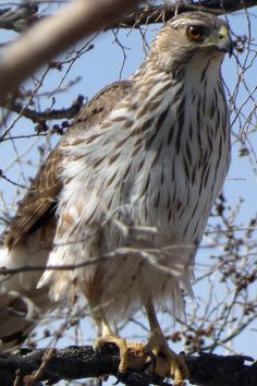 An immature Cooper's Hawk (Accipiter cooperii). The narrow breast streaks help distinguish an immature Cooper's from an immature Sharp-shinned (whose breast streaks are wider). Photo taken at the west edge of Valle de Oro National Wildlife Refuge, Albuquerque, on April 1, 2021. Cooper's Hawk, Photo Series, New Mexico, Bald Eagle, Wildlife, Breast, Urban, Nature, Animals