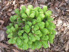 Abies veitchii Kramer Oldenburg, Plants, Plant, Planets