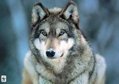 Amerikanen mogen weer op grijze wolven schieten - HLN.be