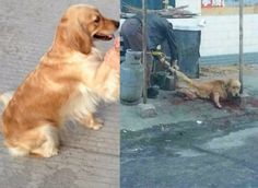 Justice for Maomao, Chinese pet dog snatched from loving owner and sold to restaurant for her meat! | YouSignAnimals.org