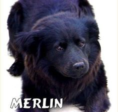 Merlin, the Labrador / Chow Chow mix Reminds me of Olly and Tess
