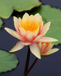 Might get a water lily. Water Flowers, Water Plants, Real Flowers, Beautiful Flowers, Lotus Flowers, Nylon Flowers, Exotic Flowers, Yellow Flowers, Lotus Plant