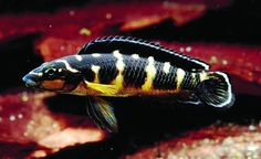 Julidochromis transcriptus / tanganyika cichlide