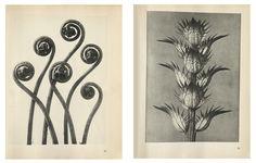 Karl Blossfeldt Urformen der Kunst | Object:Photo | MoMA