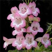 Botanical name: Penstemon 'Kilimanjaro'    Other names: Penstemon 'Kilimanjaro' Click image to learn more, add to your lists and get care advice reminders each month.