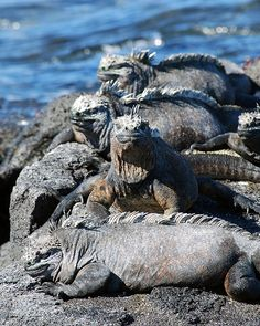 In the Gang, Marine Iguanas are endemic to the Galapagos Islands and are the only lizards that live and forage in the sea.