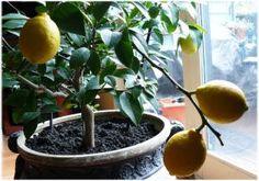 Kako uzgojiti limun u saksiji kod kuće? Uputstvo i instrukcije