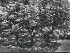 Otto Steinert, Trees in Front of My Window, 1956
