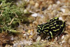 Northern Corroboree Frogs are only 2.5-3cm in length and need our help to ensure their survival. http://www.zoo.org.au/fighting-extinction/priority-native-threatened-species/northern-corroboree-frog