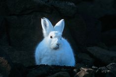 Arctic Hares can run up to 60 km per hour. That's important, because they are prey to Arctic and Red Foxes, Grey Wolves, Canadian Lynx, Ermines, Rough-legged Hawks, Peregrine Falcons, Gyrfalcons, and Snowy Owls. Arctic Hare, Peregrine Falcon, Can Run, Snowy Owl, Red Fox, Rabbit, Wildlife, Bunny, Pets