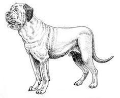 The English Mastiff Dog Breed is a powerful guard dog.
