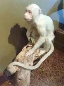 Albino Monkeys