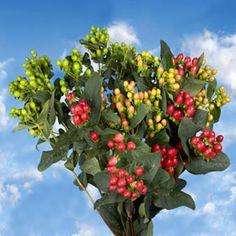 Hypericum Assorted Colors 60 Flowers | GlobalRose.com